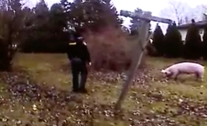 Watch police try to catch runaway pig