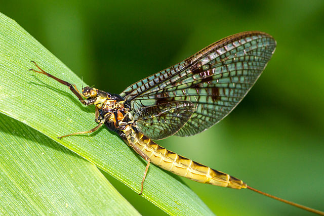 Insect apocalypse - mayfly population has dropped 50% since 2012