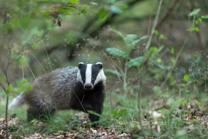 Trump showed an inordinate interest in badgers, according to new book