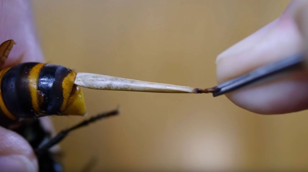 WATCH: Parasites removed from hornet