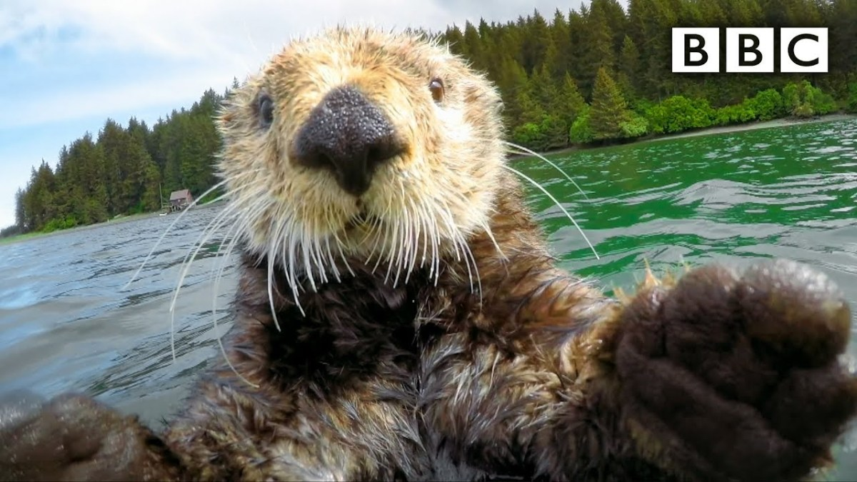 Here's some high-quality otter footage from the BBC