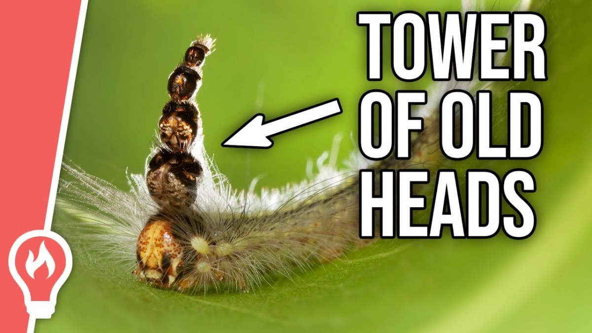 This caterpillar wears its old molted heads as hats