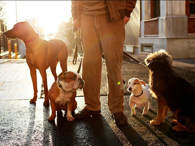 ISTANBUL, TURKEY - FEBRUARY 5: Bayram Kozat, who used to shepherd sheep in Turkey's Malatya for the past 20 years, practices his job as a new dog walker in Istanbul, Turkey on February 5, 2016. While having difficult time taking seven dogs for a walk at once on the most crowded streets of Istanbul, he treats them like his children, and feels happy for doing a similar job like his Mardin days. (Photo by Elif Ozturk/Anadolu Agency/Getty Images)