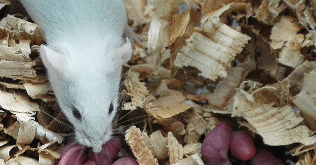 , Chinese Scientists Claim to Impregnate Male Rat, Nzuchi Times Breitbart