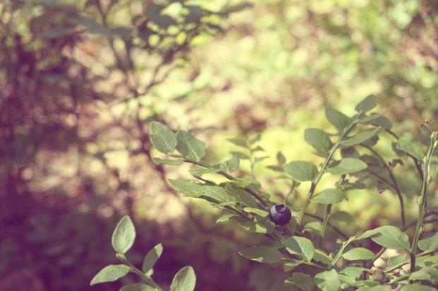plocka blåbär i skogen