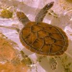 CTF relaunches green turtle release