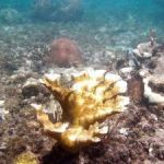 Cool seas help LC corals recover from bleaching
