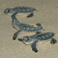 baby turtle deaths, Cayman News Service