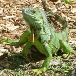 Invasive green iguana in the Cayman Islands