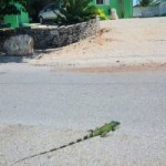 Sister Islands on brink of green iguana invasion