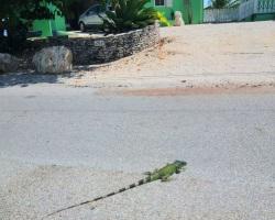 green iguana invasion, Cayman News Service