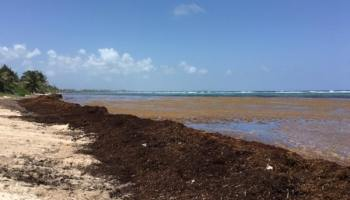 Seaweed bloom could decline next month - Cayman Islands Headline