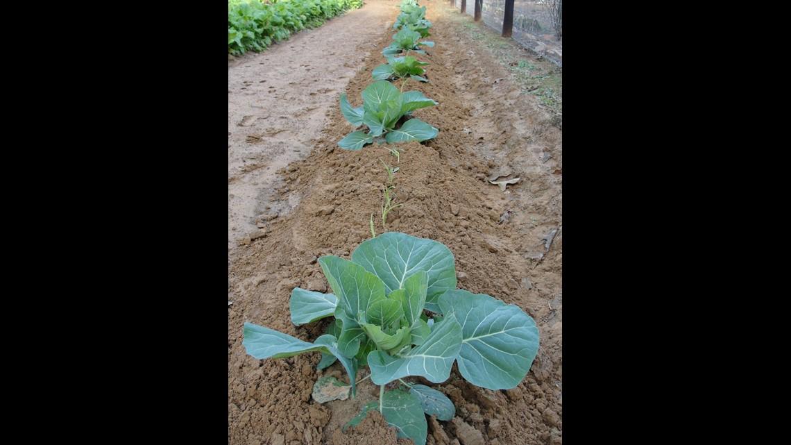 Fall Vegetable Garden Prep Smith County Master Gardener Says Start Now Cbs19 Tv