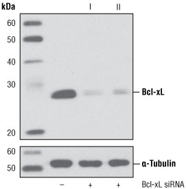 siRNA transfection or knockout with Bcl-xL #6362 and #6363