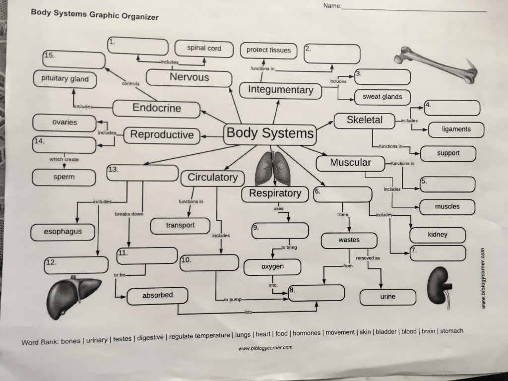 Solved Name Body Systems Graphic Organizer Spinal Cord P