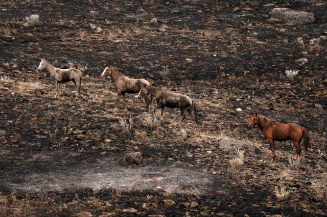 Horses climb a hillside that was burned by the Chuweah Creek Fire in eastern Washington.