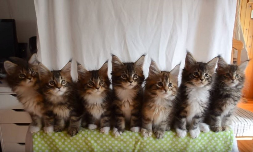 SEVEN KITTIES