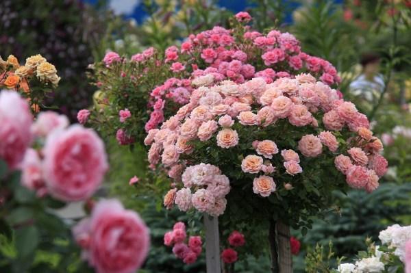 Вертикальное Озеленение И Плетистая Роза
