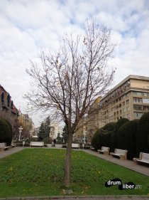 Pomul libertății, Timișoara. Jos este placa pe care scrie cine l-a făcut cadou primului oraș liber din România.