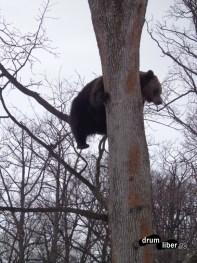 Rezervația de Urși de la Zarnești - Cocoțat în copac (2)