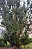 Copac toxic din curtea universității