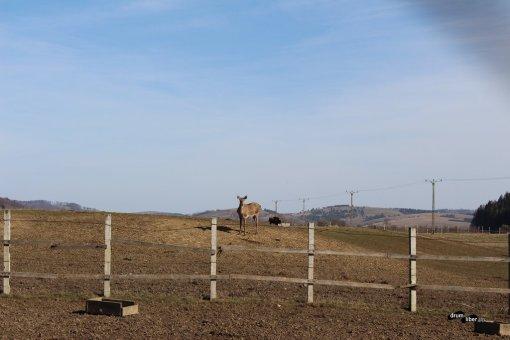 Cerbi și căprioare la Zimbrăria / Rezervația Valea Zimbrilor, Vama Buzăului (Acriș)