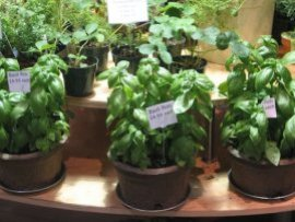 Beautiful Basil Plants at Reading Terminal Market