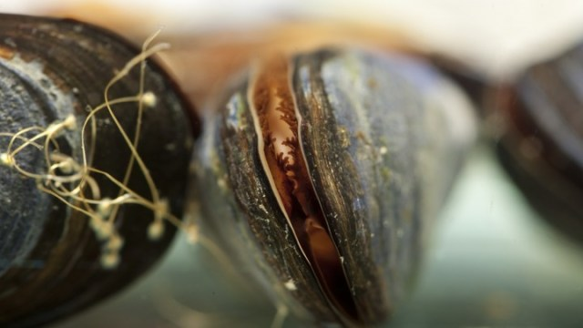 Laundry lint can cause significant tissue damage within marine mussels