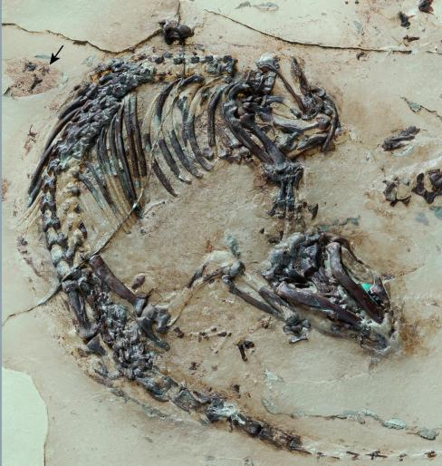 Fossil of Spinolestes