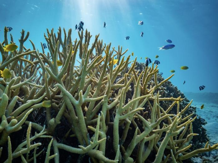 An assembly of damselfishes on the Great Barrier Reef in Australia. Several of these damselfish species were used by the researchers in their study. Photo: Fredrik Jutfelt/NTNU Credit: Fredrik Jutfelt/NTNU