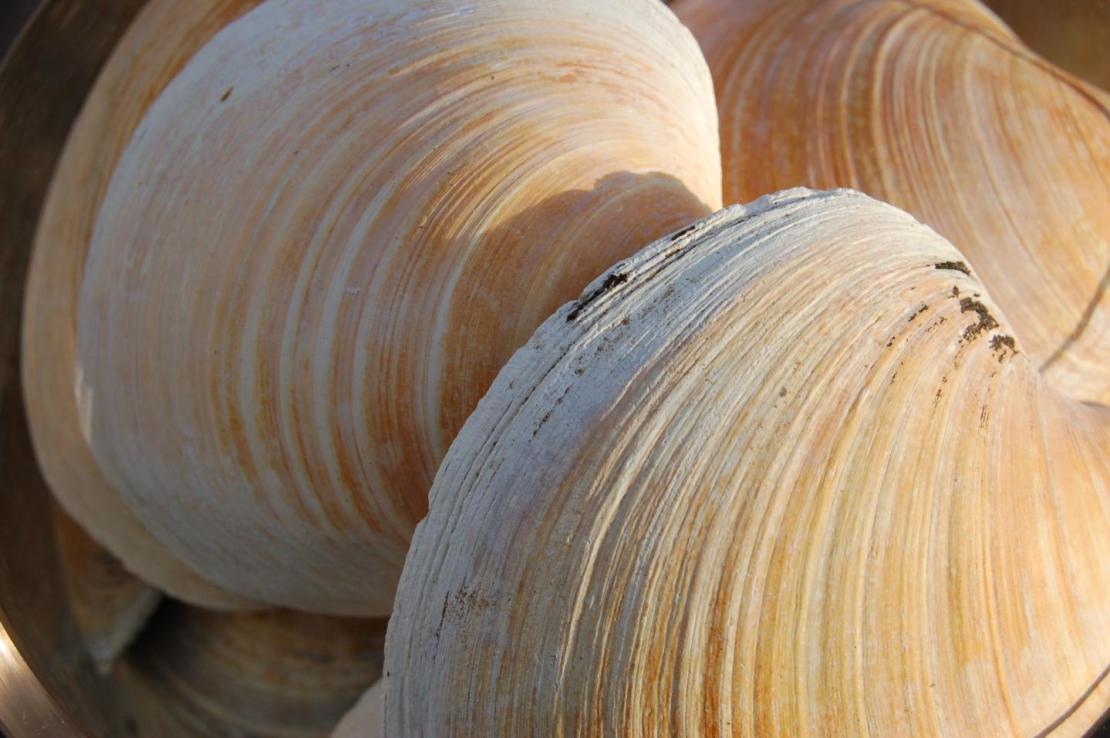 Quahog clams Credit: Paul Butler