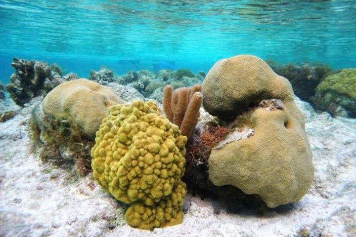 Corals on Turks and Caicos Islands in the Caribbean experienced very little bleaching and recovered quickly from the 2014-17 global coral-bleaching event, researchers report. Credit:photo by Abby Knipp