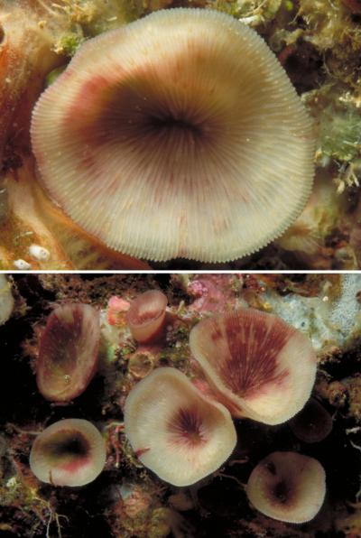 This is the new coral species living on the ceilings of caves in tropical coral reefs. Credit: Dr. Bert W. Hoeksema / Naturalis