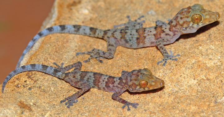 This image shows a juvenile and subadult of the new species Paroedura hordiesi. Credit: Jörn Köhler