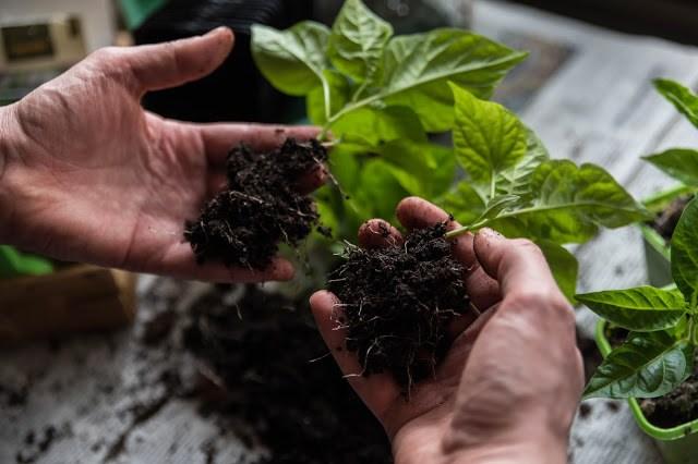 Två små chiliplantor på väg att omplanteras Farbror Grön