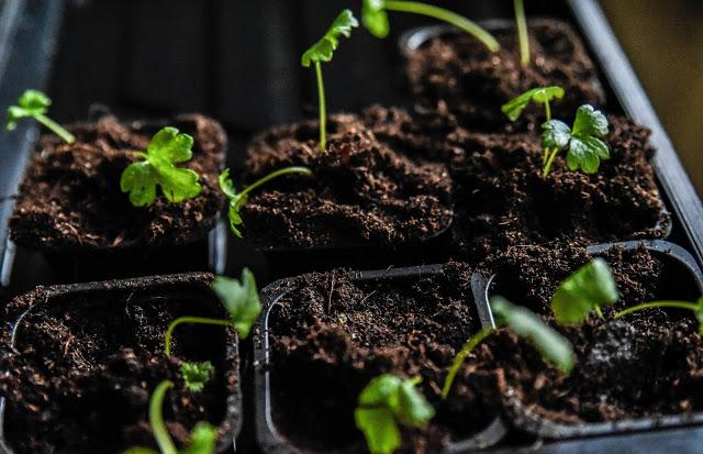 Omplantera rotselleri
