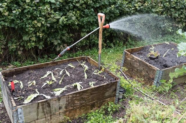nyplanterade sallatsplantor i pallkrage Farbror Grön