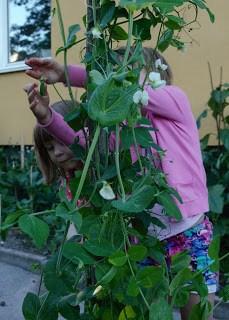 Barn skördar sockerärtor Farbror Grön