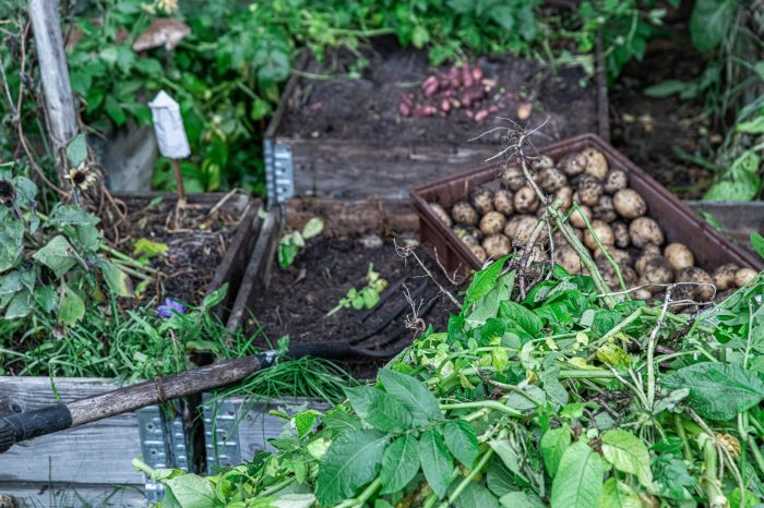 Potatis är en bra gröda i kris-tider