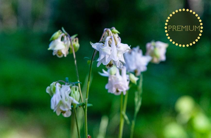 Akleja – en älskad blomma i många varianter