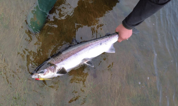 first-salmon-of-2015