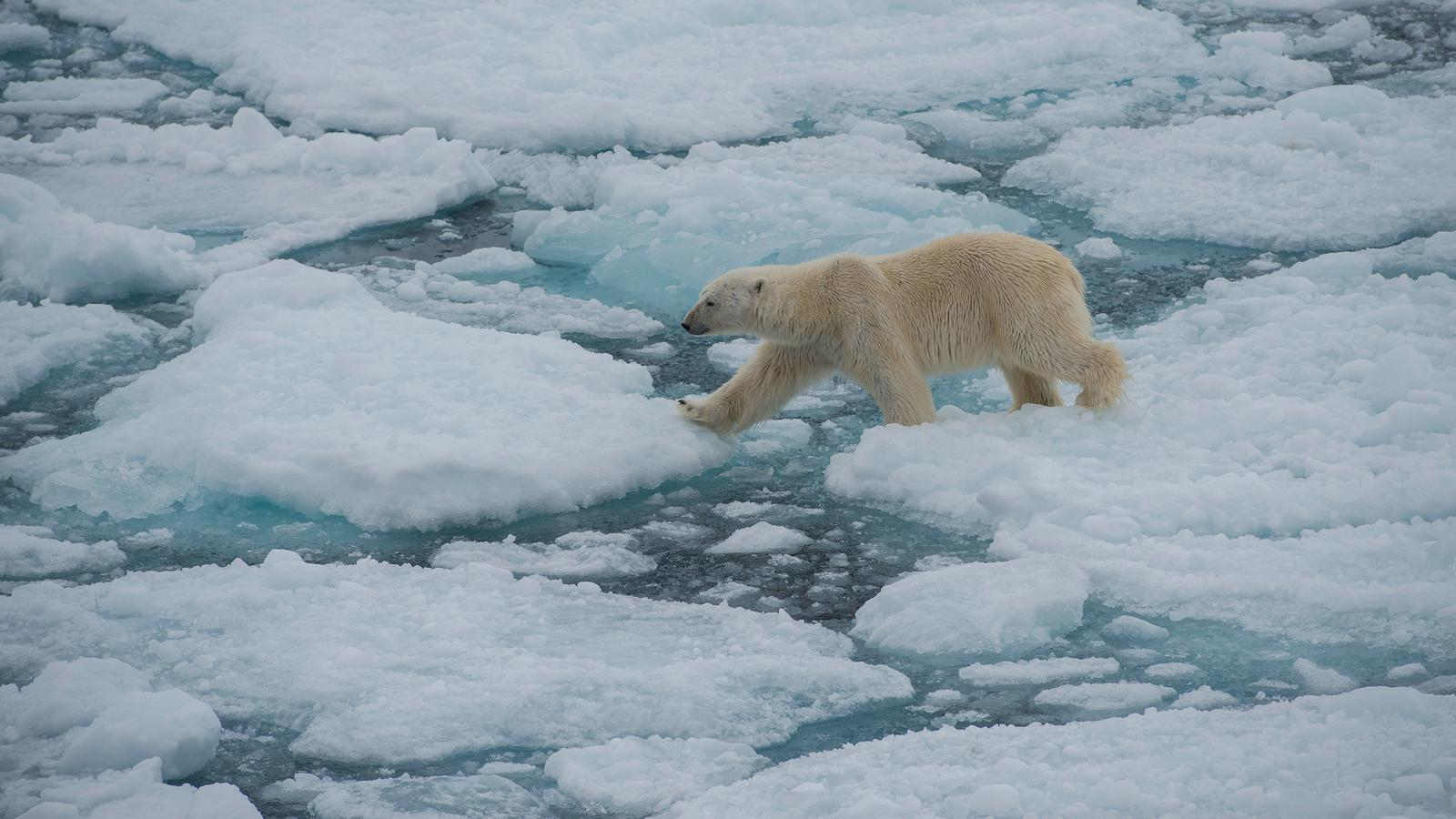 Realm Of The Polar Bear In Arctic Arctic