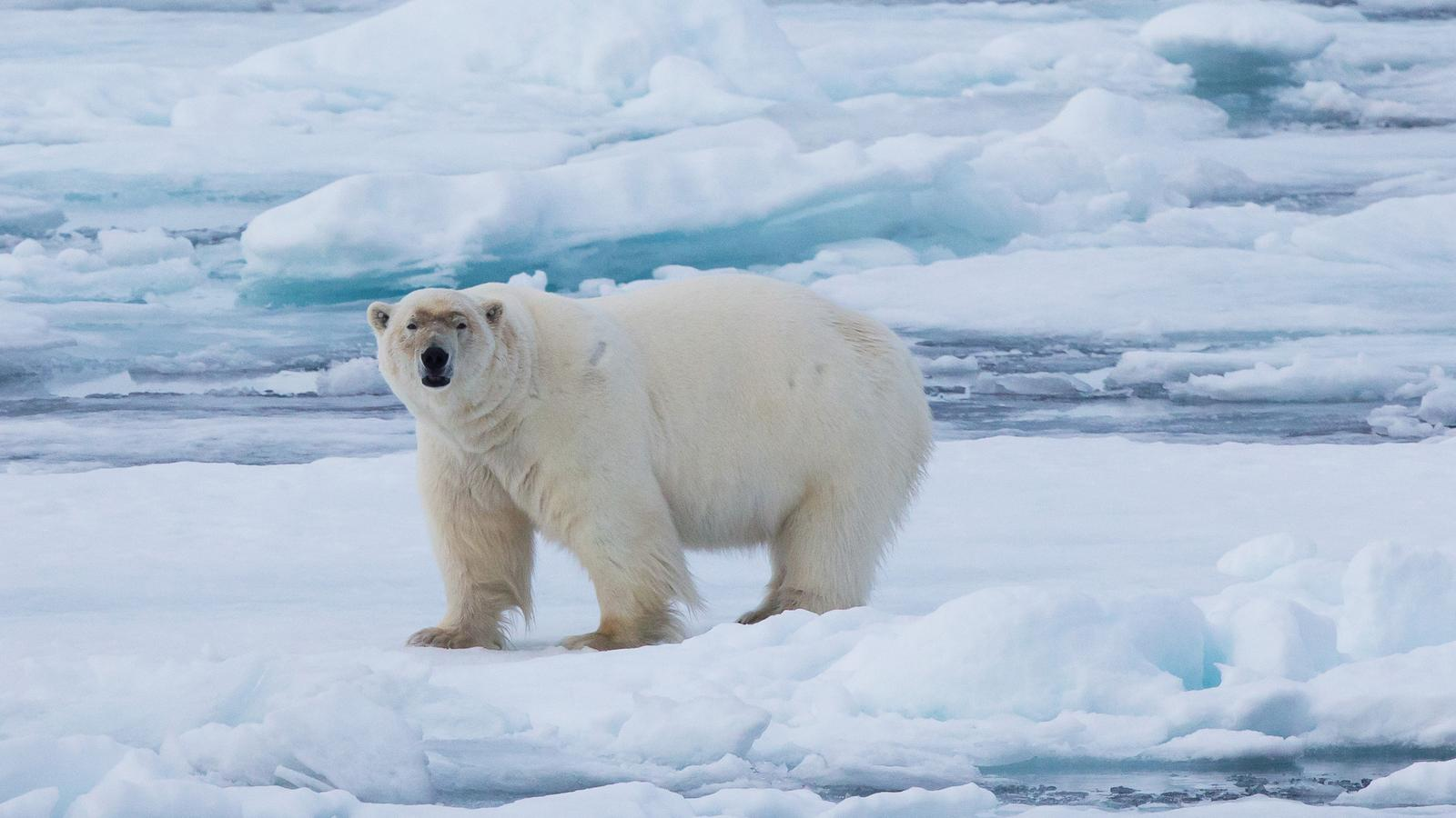 Realm Of The Polar Bear In Depth In Arctic Arctic