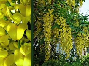 Cytise - Fleurs