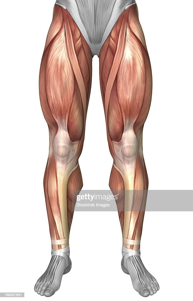 Quadriceps Muscle Stock Illustrations And Cartoons   Getty Images