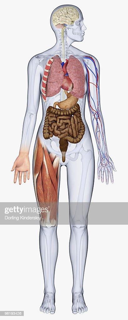 Digital Illustration Of Human Body Showing Brain Heart ...