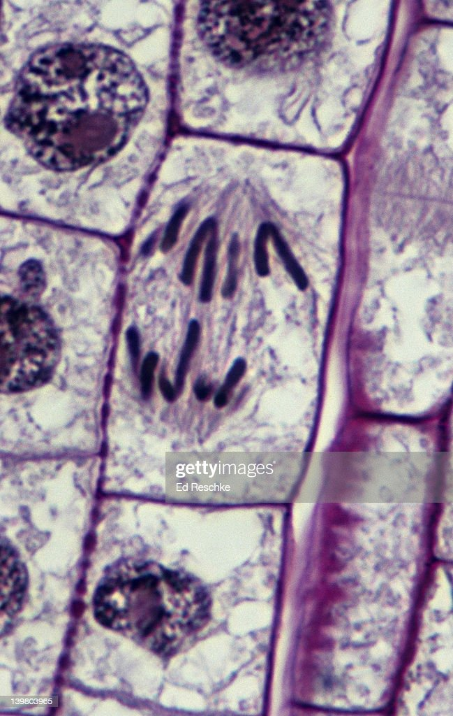 Allium Root Tip Mitosis