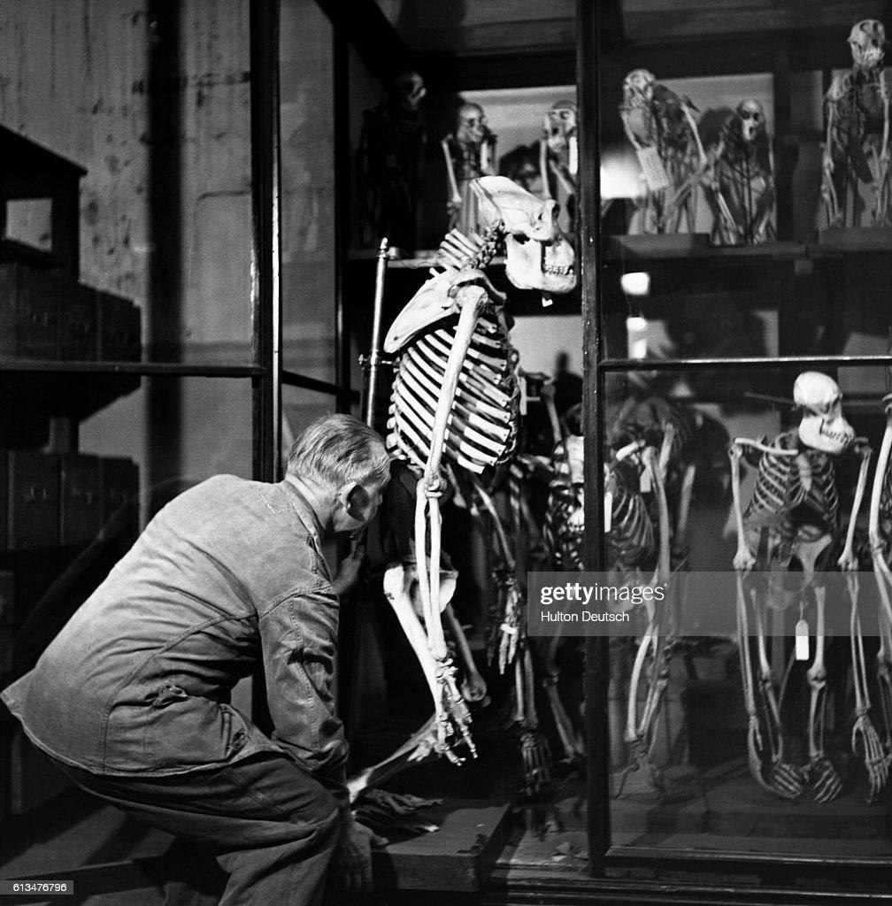 Gorillas Compared Human Skeleton