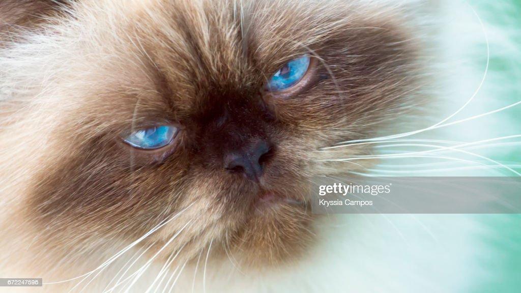 Lion Cut Persian Kitten