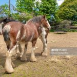 A Couple Of Beautiful Clydesdale Horses The Clydesdale Horses Are News Photo Getty Images